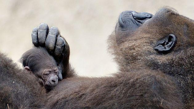 Para el estudio se analizó el ADN de una hembra de gorila. (AP)