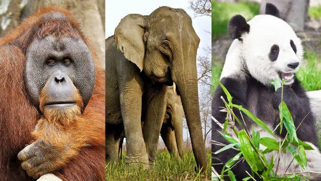 Especies como el orangután de Sumatra, el elefante asiático y el panda gigante figuran en la lista. (USI)