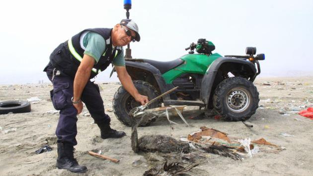 MURIERON DE HAMBRE. Más de cinco mil pelícanos perecieron por falta de alimento en Lima y el norte del país. (Difusión)
