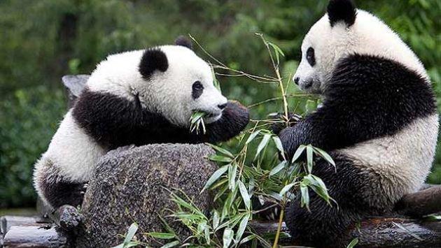 panda en peligro de extincion