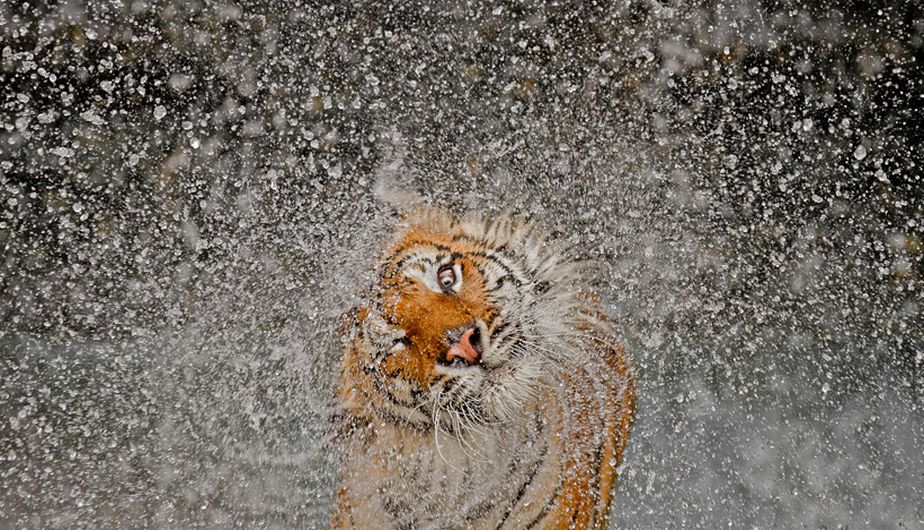 Un tigre sacudiéndose el agua en el zoológico de Khao Kheow (Tailandia) se llevó el primer premio en el concurso anual de fotografía de National Geographic. La foto es de Ashley Vincent. (National Geographic)