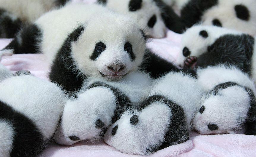 Hoy fueron presentados al público 14 pandas bebes en el Centro de Investigación y cría de Pandas Gigantes en Chengu, China.  (Reuters)