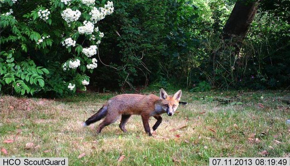 Este zorro común o zorro rojo fue fotografiado en Bristol, Inglaterra. La cámara trampa es la cámara escondida que capturó al animal en este preciso momento, justo  cuando miraba hacia el lente. (BBC)