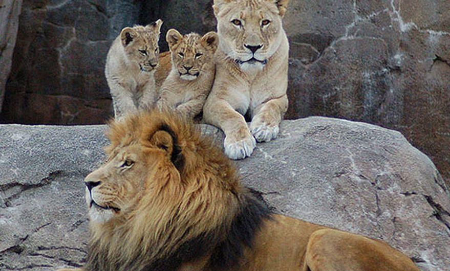 De acuerdo a Dereck Joubert, explorador del National Geographic que vive en Botsuana, quedan solo 20 mil leones en África. Hace 50 años, existían cerca de 450 mil. Según sus cálculos, cinco leones son asesinados diariamente en África. (Internet)