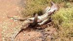 Australia: Serpiente pitón devora a cocodrilo tras cinco horas de lucha - Noticias de tiffany corlis