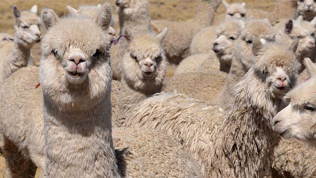 Volcán Ubinas: Disponen trasladar a alpacas y llamas a zonas seguras. (AFP)