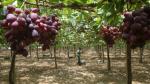 EEUU: Investigan una toxina en las uvas que podría ser cancerígena - Noticias de moho