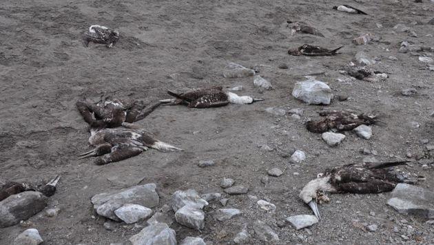 En el norte del país han muerto cientos de aves por falta de alimento. (Carlos Bocanegra)