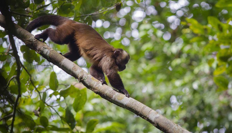 Un mono capuchino marrón en el Parque Nacional del Manu. (Enrique Castro-Mendivil/Reuters)