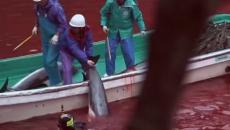 Japón: Pese a críticas inició estación de caza de delfines