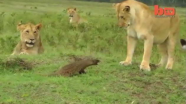 Kenia: Una mangosta se enfrentó a tres leones que iban a comérsela