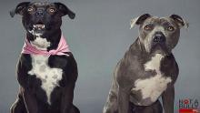 Pitbull, Mascotas, Perros, Not a Bully