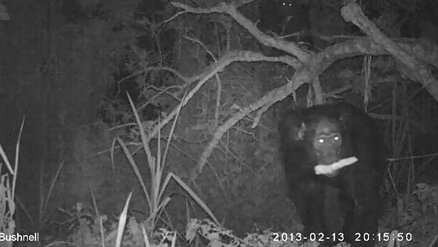 Uganda: Chimpancés son descubiertos infraganti robando en cultivos de maíz