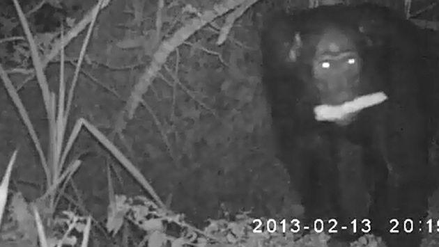 Chimpancés aprovechan noches sin luna para robar