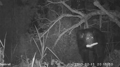 Chimpancés, Uganda, Parque Nacional de Kibale