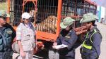 Huancayo: Tres leones rescatados de circo serán trasladados a Estados Unidos - Noticias de dimas aliaga