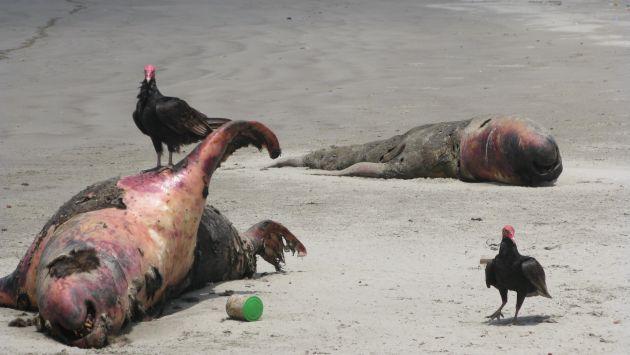 Policía halló 500 lobos marinos muertos en playa de Chimbote