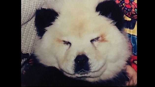 Foto de uno de los perros pintado como oso panda. (corpoforestale.it)