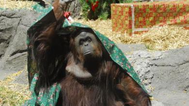 Orangután, Sandra