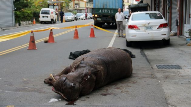 Hipopótamo resultó herido. (AFP)
