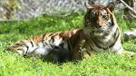 Tigresa se comió a sus dos cachorros en zoológico de Jerusalén - Noticias de tigres de sumatra