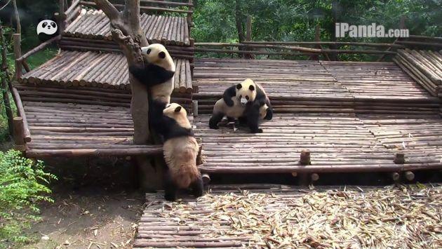 Cinco osos pandas se divierten en China. (iPandaChannel)