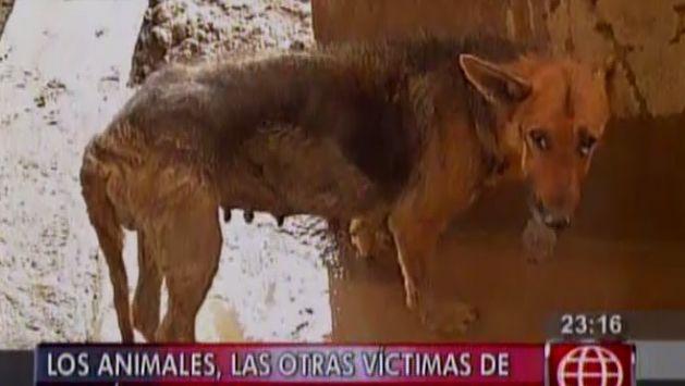 Las mascotas también sufrieron daños por el huaico en Chosica. (América TV)