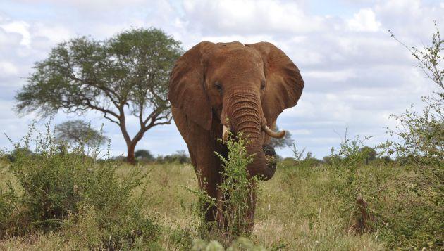 Un elefante del Parque Nacional de Tsavo, una de las reservas naturales de Kenia.