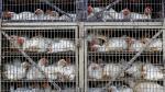 Alemania: Sacrificaron 10 mil gallinas por un brote de gripe aviar H7N7