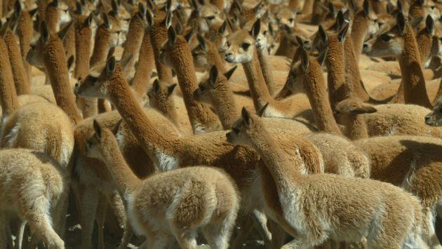 EN PELIGRO. A estos camélidos los matan por su preciada lana. (USI)