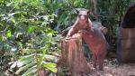 'Cholita', la osa que fue mutilada en circo y que ahora vive en la selva peruana [Fotos] - Noticias de adidas