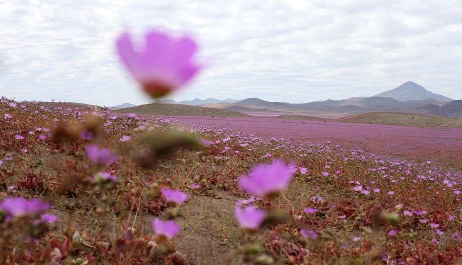 El desierto de Atacama en Chile ahora es un paraíso floreado [Fotos]