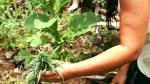 Colombia legalizó el uso de marihuana con fines médicos y científicos - Noticias de legalizacion de marihuana