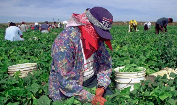 Hay demanda de trabajadores agrícolas. (USI)