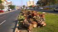Municipalidad de Lima responsabilizó al Municipio de Los Olivos por la tala de 40 palmeras. (@Katiarox)
