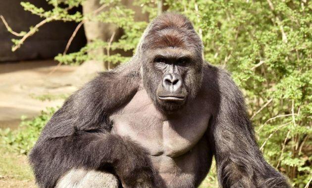 Harambe, un gorila de 17 años, fue abatido por la Policía para salvar la vida de un niño que cayó en su jaula (Reuters).