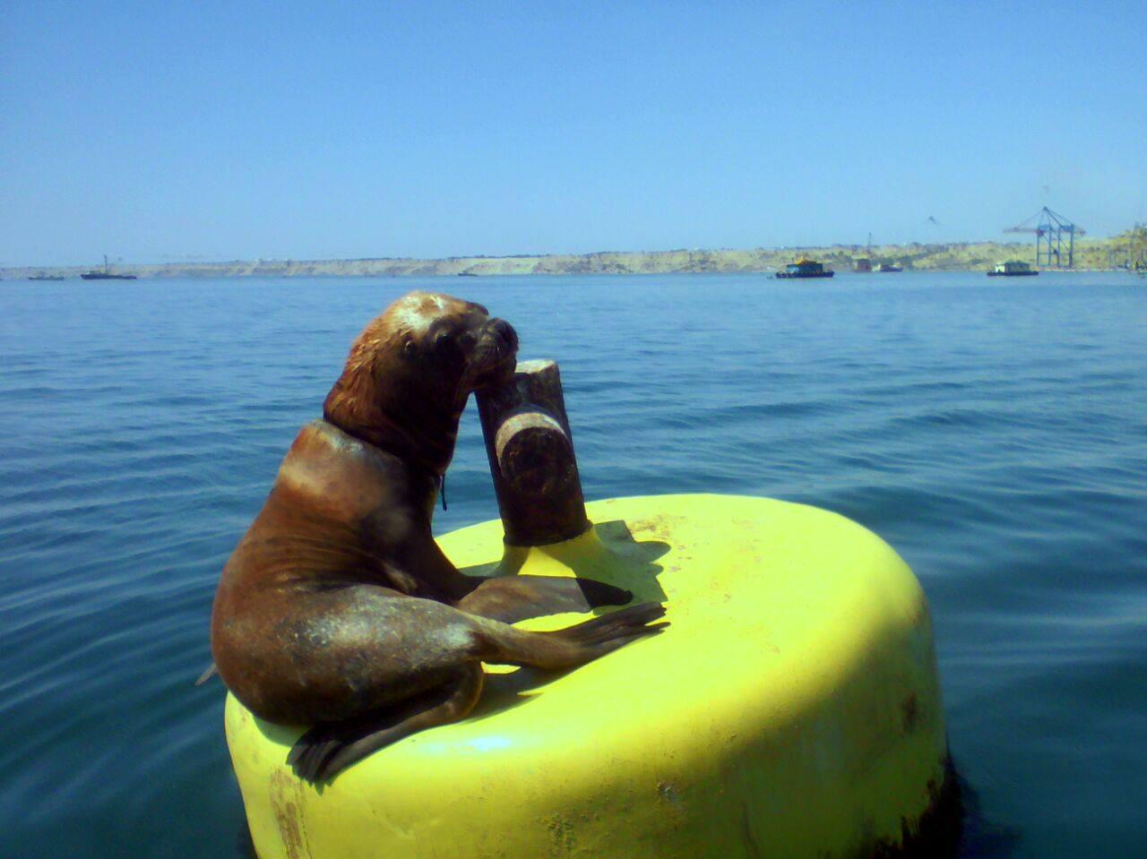 Facebook: Piden ayuda para lobo marino que tiene un alambre alrededor del cuello en Piura [Fotos]