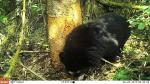 San Martín: Cámaras 'trampa' captan primeras imágenes de oso andino en parque Nacional del Río Abiseo - Noticias de rio santa