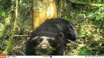 San Martín: Cámaras 'trampa' captan primeras imágenes de oso andino en parque Nacional del Río Abiseo - Noticias de fauna silvestre