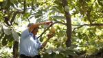 Cacao en el Perú: 36% de la producción mundial se concentra en territorio nacional. (Perú21)