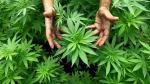 Ejecutivo presentará iniciativa para legalizar uso medicinal de marihuana - Noticias de san miguel
