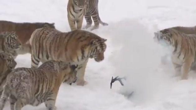 El video también ha desatado preocupación por el estado físico de los animales (Captura)