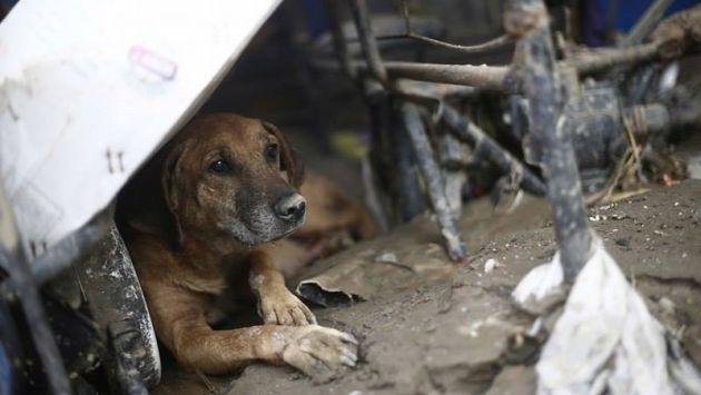 Los animales también necesitan de tu apoyo en esta ola de huaicos y lluvias. (Renzo Salazar/Perú21)