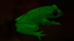 Conoce a la primera rana fluorescente conocida en el mundo [FOTOS] - Noticias de argentina