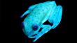 Conoce a la primera rana fluorescente conocida en el mundo [FOTOS]