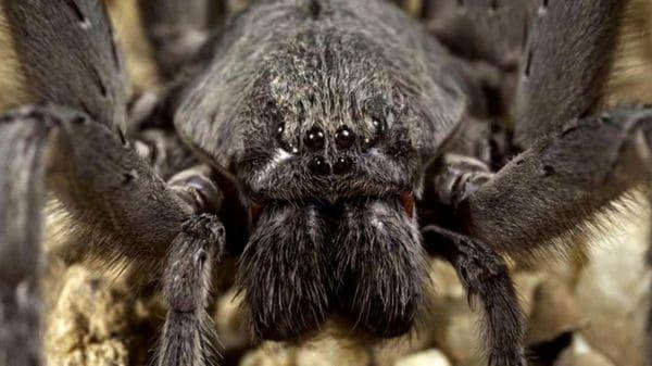 Descubren una nueva especie de araña gigante