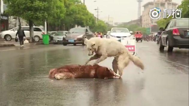 Mira cómo este perrito intenta reanimar a su compañero que fue atropellado en China. (Facebook/Pacma)