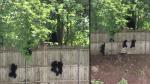 Facebook: Mira cómo estos tiernos cachorros de oso intentan escalar una cerca [VIDEO] - Noticias de nicole elizabeth wileman heresi