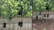 Facebook: Mira cómo estos tiernos cachorros de oso intentan escalar una cerca [VIDEO]