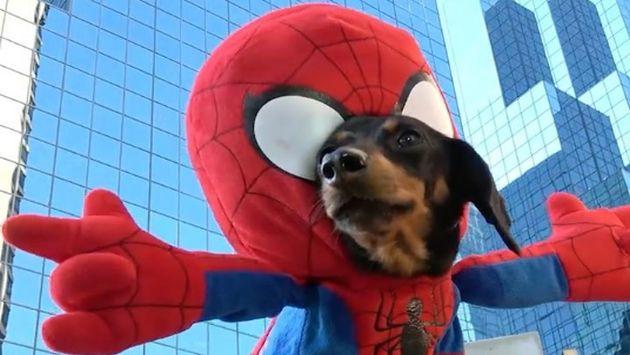 Instagram: Un perrito se transformó en 'Spiderman' y no podrás dejar de verlo [VIDEO]